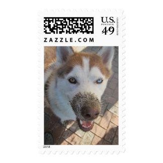 La nariz fangosa del perro esquimal sello