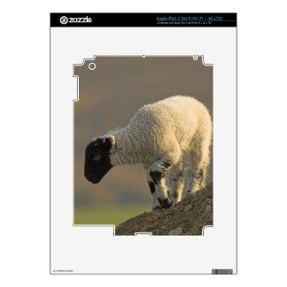 La oveja en amarra la piel del iPad 3 Pegatina Skin Para iPad 3