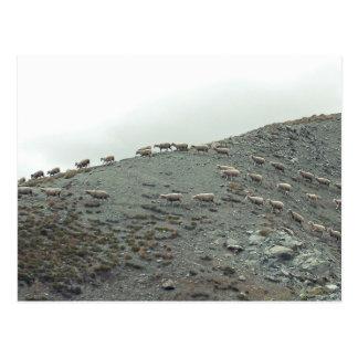 La oveja temática, multitud reunida de ovejas en postales