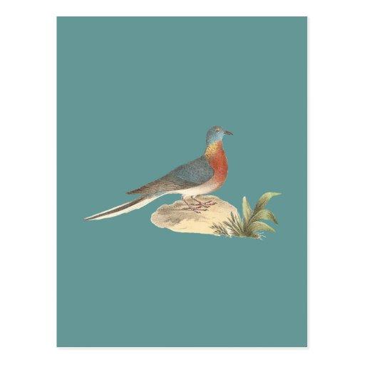 La paloma salvaje (migratoria del Ectopistes) Postal