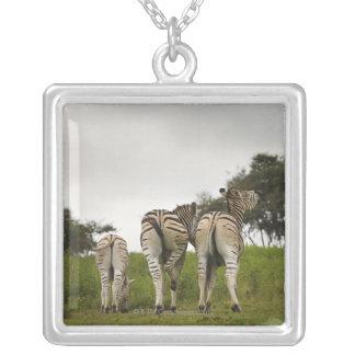 La parte trasera de tres cebras, Suráfrica Colgante Cuadrado