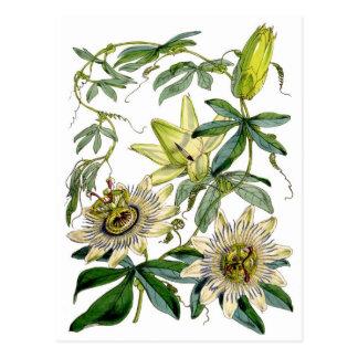 La pasión florece el ejemplo botánico tarjetas postales