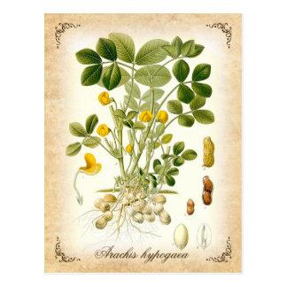 La planta del cacahuete - ejemplo del vintage postales