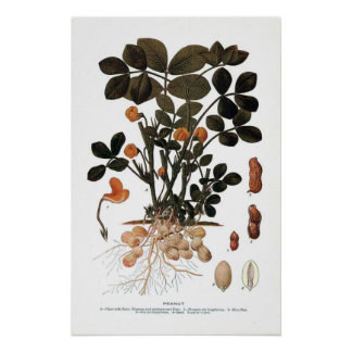 La planta del cacahuete impresiones