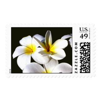 la planta del ti florece back.jpg negro blanco franqueo