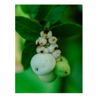 La planta redonda blanca da fruto macro postales