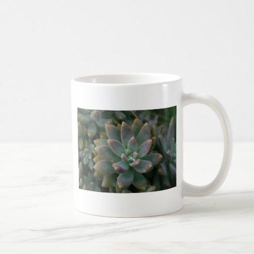 La planta suculenta interesante, utiliza como es o taza básica blanca