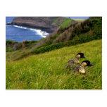 La postal/puso en peligro los gansos hawaianos de