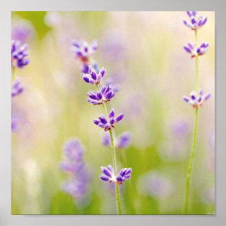 la púrpura bonita florece calmar natual de la póster