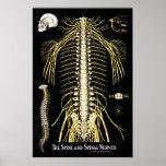 La quiropráctica de la espina dorsal y de los nerv posters