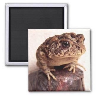 La rana del sapo en la mano martilló la foto de co imán de frigorífico