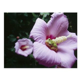 La rana en el interior de un hibisco rosado postal