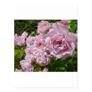 La reina de los rosas de Suecia Postales