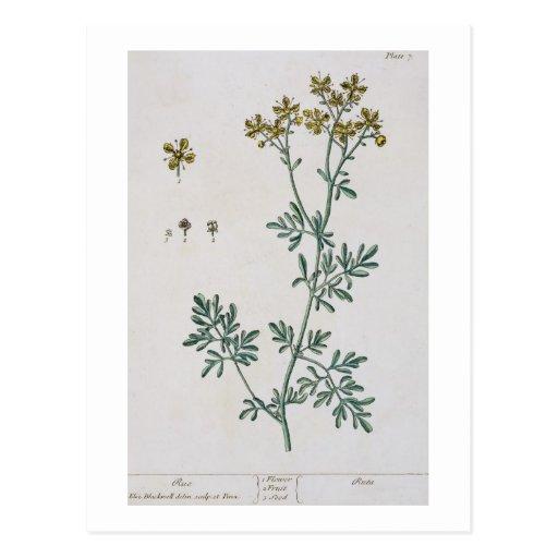 """La ruda, platea 7 """"de un herbario curioso"""", public tarjetas postales"""