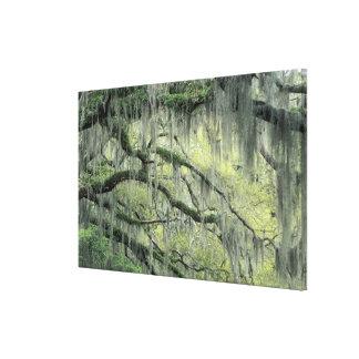 La sabana, Georgia, árbol de Live Oak cubrió con Impresión En Lienzo Estirada
