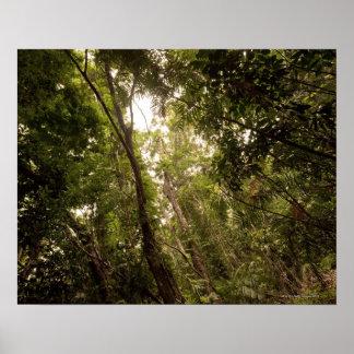 La selva tropical tropical el río de Daintree Póster