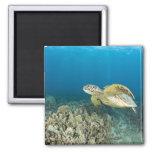 La tortuga de mar verde, (los mydas del Chelonia), Imán Cuadrado