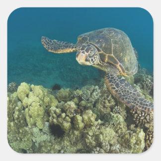La tortuga de mar verde, (los mydas del Chelonia), Pegatina Cuadrada