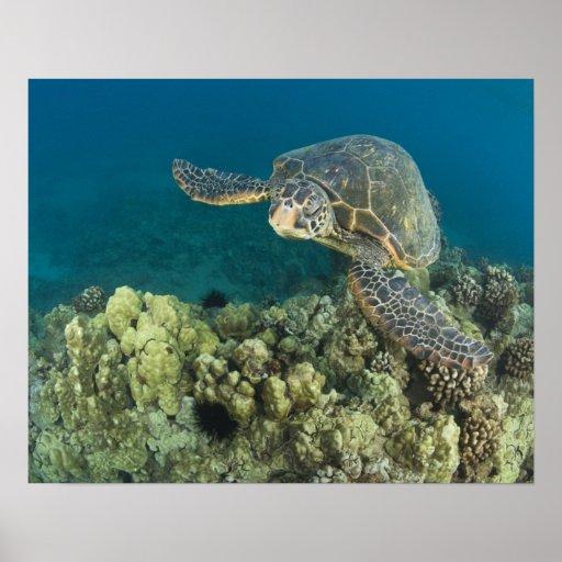La tortuga de mar verde, (los mydas del Chelonia), Póster