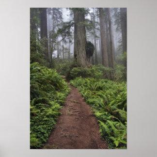 La trayectoria a través de los árboles gigantes de poster