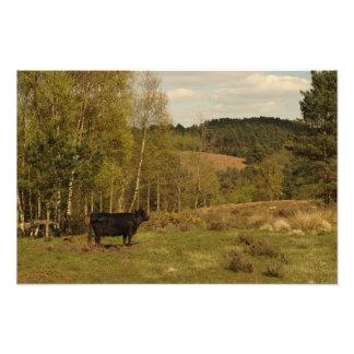 La vaca de Dexter admira las colinas de Hednesford Fotografía