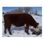La vaca de enero en la sal se lame postal