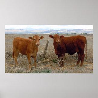 La vaca grande observa - ganado rojo - occidental impresiones