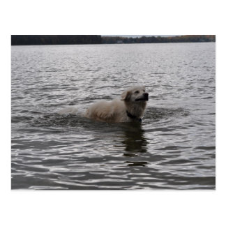 Lab Dog in water Postcard