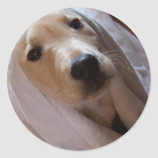 Lab pup in towel classic round sticker