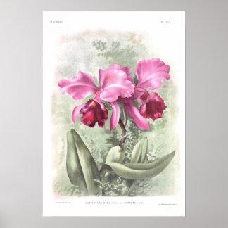 Labiata de Cattleya Impresiones