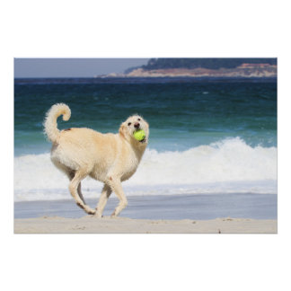 Labradoodle - Happy Day on the Beach Poster
