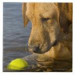 Labrador amarillo con una pelota de tenis en el ag azulejos cerámicos