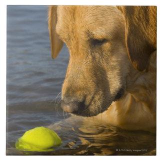 Labrador amarillo con una pelota de tenis en el ag azulejo cuadrado grande