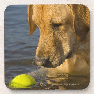 Labrador amarillo con una pelota de tenis en el ag posavasos de bebidas