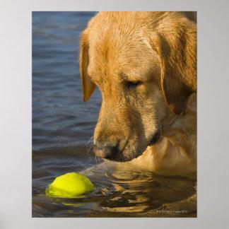 Labrador amarillo con una pelota de tenis en el ag póster