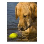 Labrador amarillo con una pelota de tenis en el ag postales