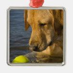 Labrador amarillo con una pelota de tenis en el ornato