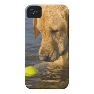 Labrador amarillo con una pelota de tenis en el iPhone 4 protectores