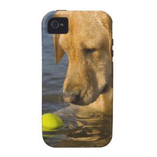 Labrador amarillo con una pelota de tenis en el vibe iPhone 4 funda