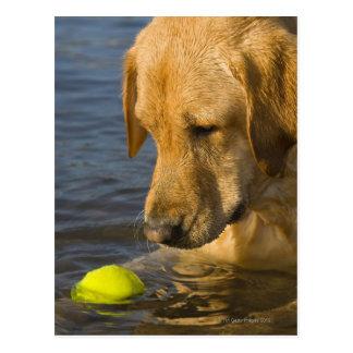 Labrador amarillo con una pelota de tenis en el postales