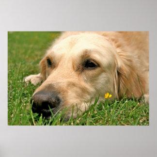 Labrador Buttercup Poster