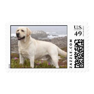 Labrador Estampilla