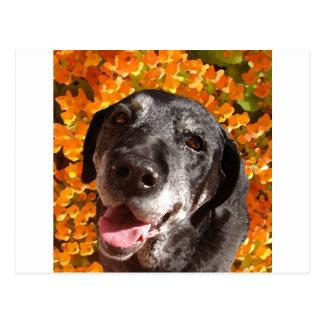 Labrador negro viejo postal
