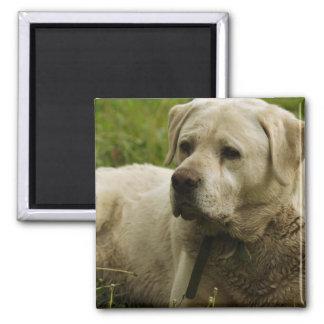 Labrador Photo Magnet