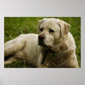Labrador Photo Poster
