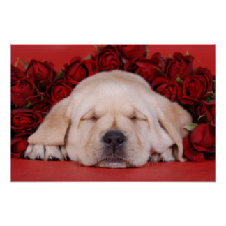 Labrador puppy and roses poster