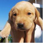 Labrador Puppy - Good Morning! Photo Cutouts