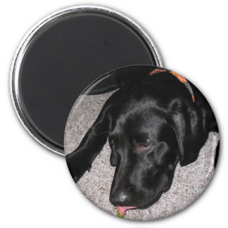 Labrador Puppy Is Eating Grapes 2 Inch Round Magnet