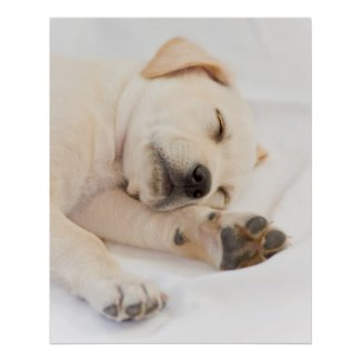 Labrador puppy print