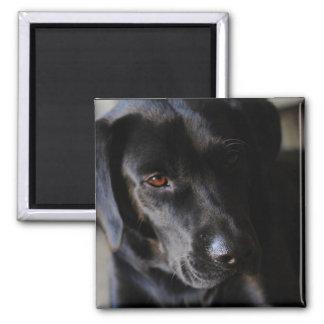 Labrador Retriever 2 Inch Square Magnet